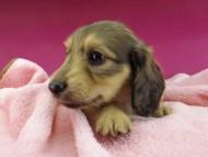 ローリー & タケルの子犬 イエロー(クリーム) 女の子(2)