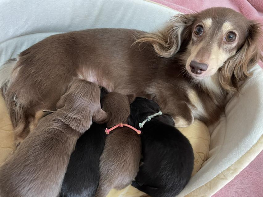 カニンヘン ダックスフンド 小町 7月12日 子犬の出産