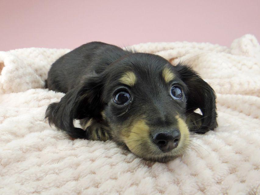 カニンヘン ダックスフンド ジャム & スルガの子犬 ブラックイエロー(ブラッククリーム) 女の子(1)