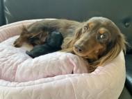 ナンシー 4月9日 子犬の出産