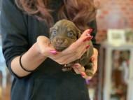ピノ & ブルースの子犬 チョコイエロー(チョコクリーム) 女の子
