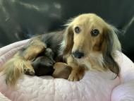 キャンディ 6月16日 子犬の出産
