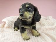 ジャム & スルガの子犬 ブラックイエロー(ブラッククリーム) 女の子(2)
