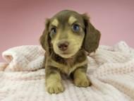 ジャム & スルガの子犬 チョコイエロー(チョコクリーム) 女の子(1)
