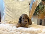 トマト & オスカーの子犬 レッド 女の子