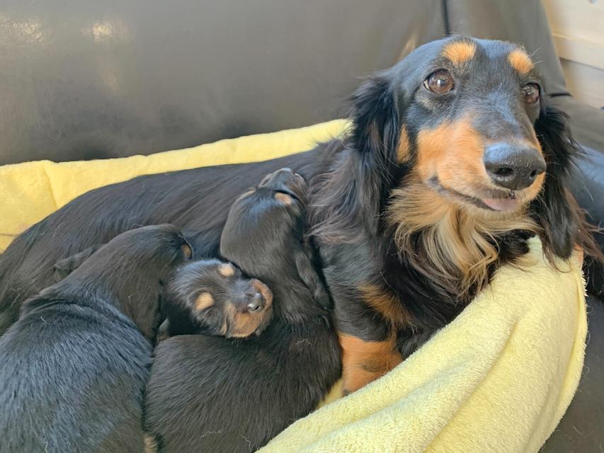 ミニチュア ダックスフンド ララ 12月30日 子犬の出産