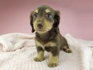 ジャム & スルガの子犬 チョコイエロー(チョコクリーム) 女の子(2)