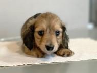 プリマ & 竹千代の子犬 イエロー(クリーム) 男の子