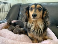 ココcs 3月31日 子犬を出産しました