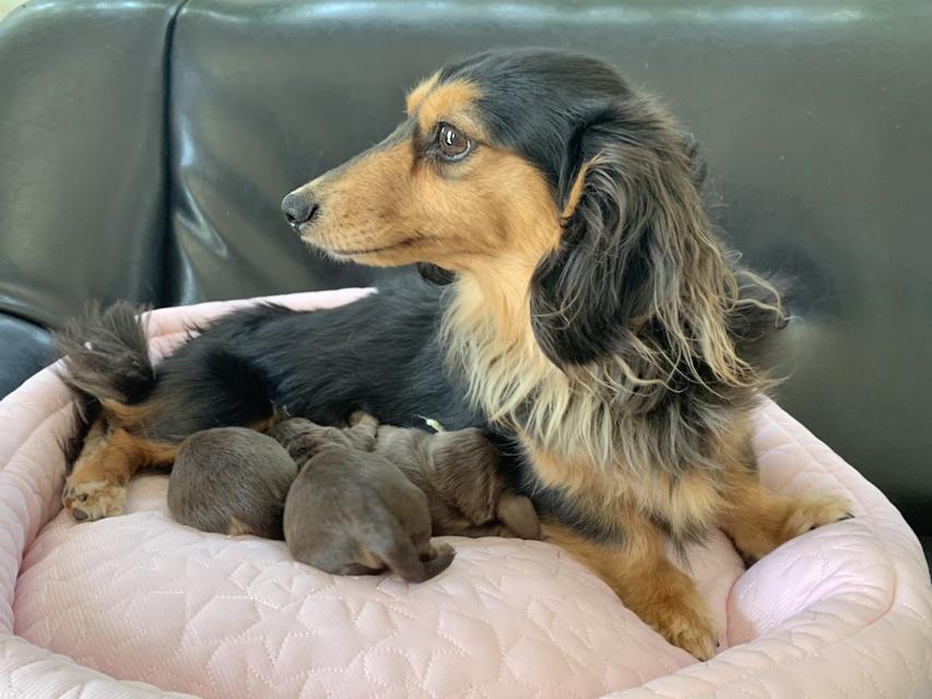 カニンヘン ダックスフンド ココcs 3月31日 子犬を出産しました