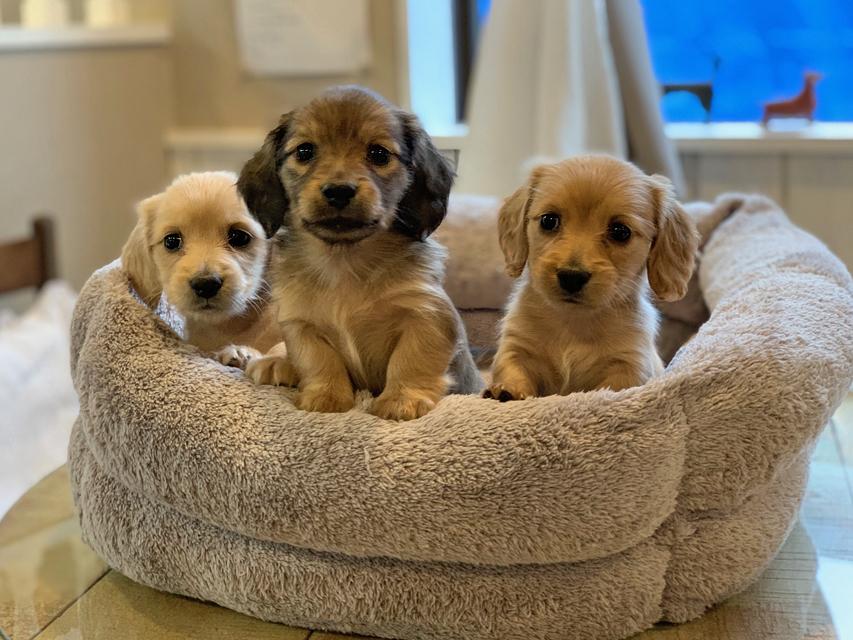 カニンヘン ダックスフンド ティナ & 竹千代の子犬達