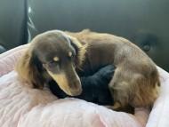 ジェシー 4月9日 子犬の出産