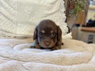 ひなプリ & ナイトの子犬 チョコイエロー(チョコクリーム) 男の子
