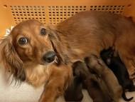 トマト 9月25日 子犬の出産