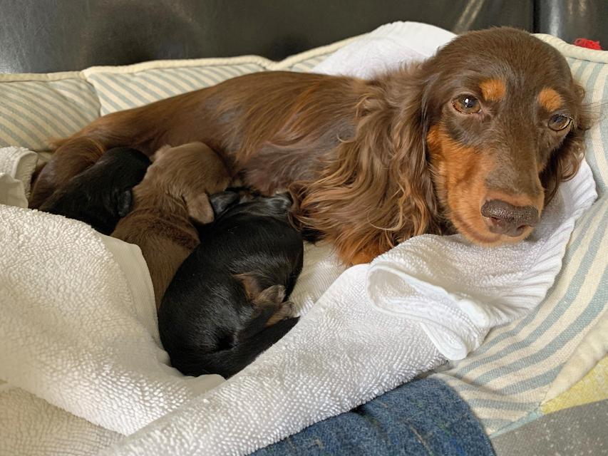 カニンヘン ダックスフンド ナンシーcs 8月28日 子犬の出産