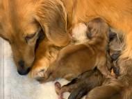 ププリン 1月30日 子犬の出産
