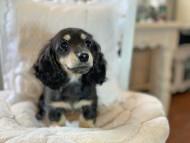 クロエ & 朝日の子犬 ブラックイエロー 女の子(1)