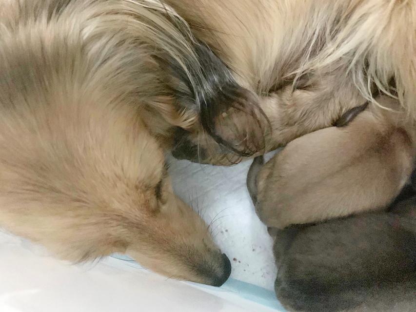 カニンヘン ダックス リン 2月12日 子犬の出産
