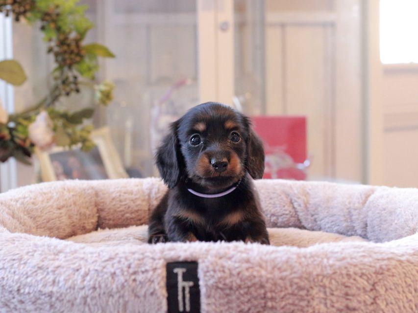 カニンヘン ダックスフンド カイラ & ピーターの子犬 ブラックタン 男の子