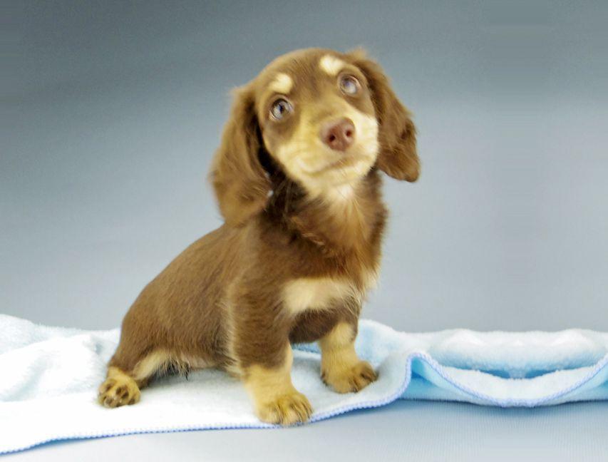 カニンヘン ダックスフンド ジャム & スルガの子犬 チョコイエロー(チョコクリーム) 女の子(2)