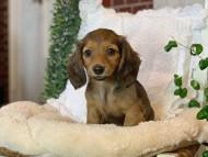 カノア & ジムダンディの子犬 シェーデットレッド 女の子