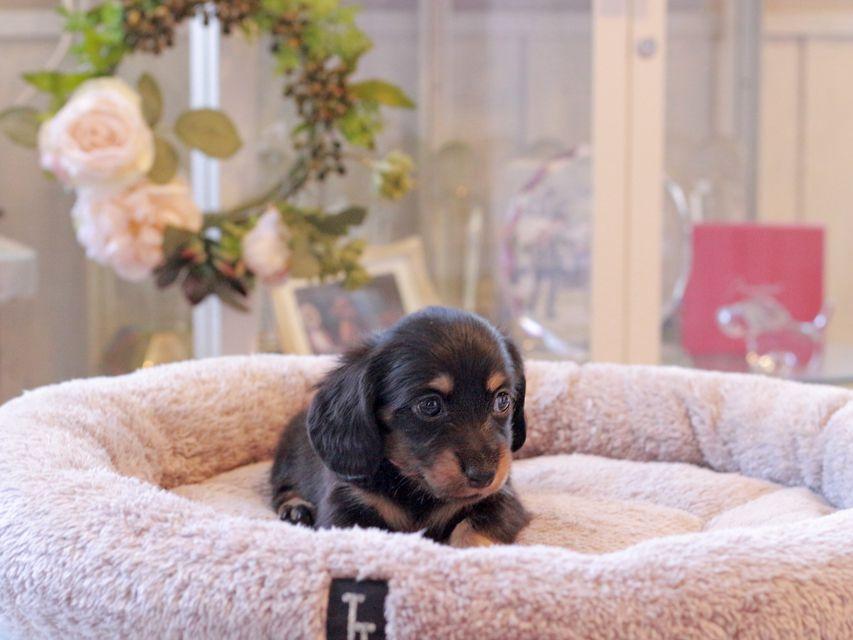 カニンヘン ダックスフンド カイラ & ピーターの子犬 ブラックイエロー(ブラッククリーム) 女の子