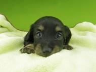 プラム & ナイトの子犬 ブラックイエロー(ブラッククリーム) 女の子