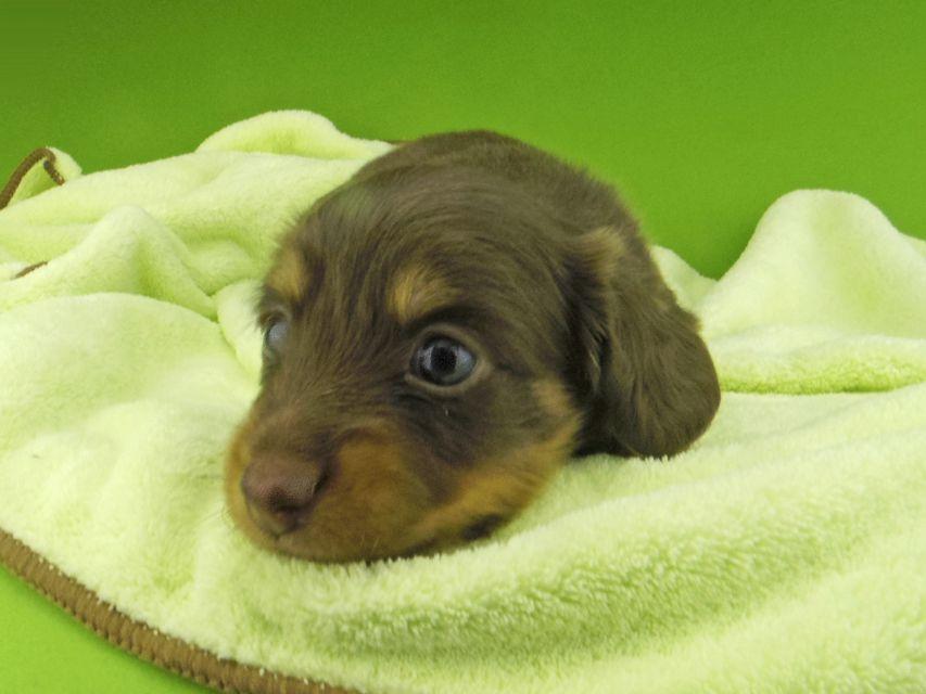 カニンヘン ダックスフンド プラム & ナイトの子犬 チョコタン 女の子(1)