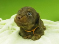 プラム & ナイトの子犬 チョコタン 女の子(2)