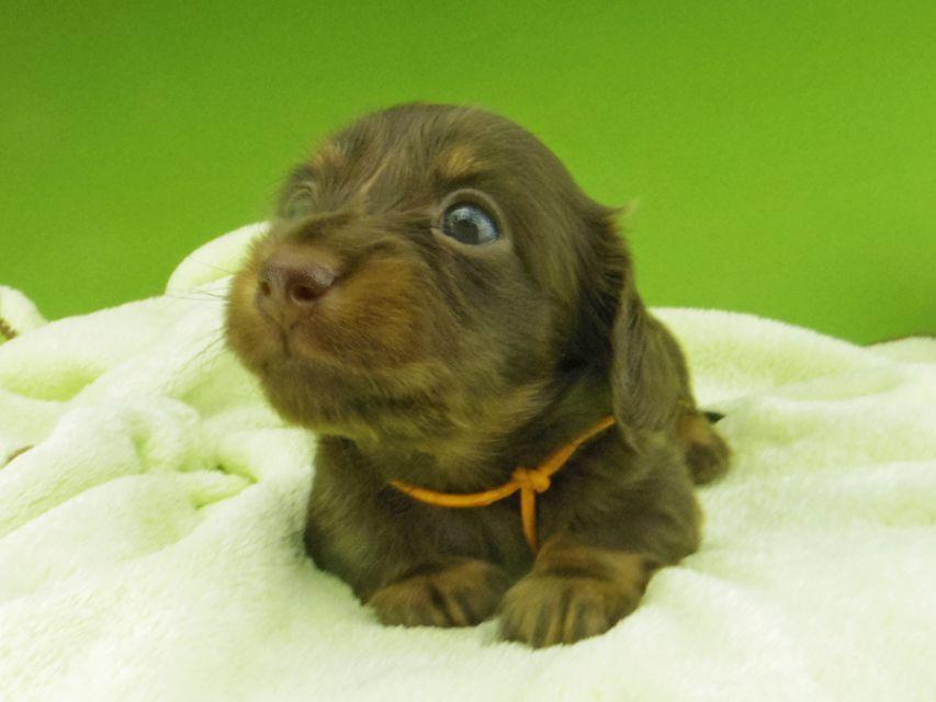 カニンヘン ダックスフンド プラム & ナイトの子犬 チョコタン 女の子(2)