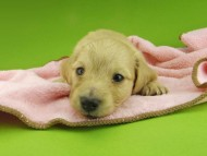 キュア & スカッシュの子犬 イエロー(クリーム) 男の子