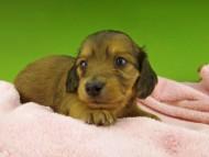 キュア & スカッシュの子犬 レッド 女の子