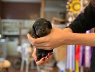 ピノ & ブルースの子犬 ブラックイエロー(ブラッククリーム) 男の子