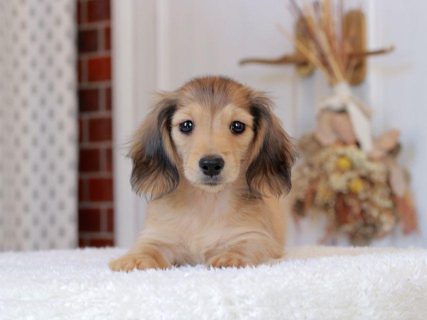 カニンヘン ダックスフンド ひなib & オスカーの子犬 シェーデットイエロー(シェーデットクリーム) 男の子