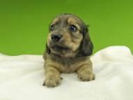 ローリー & タケルの子犬 イエロー(クリーム) 女の子(1)