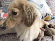 ハニーkk 9月14日 子犬の出産