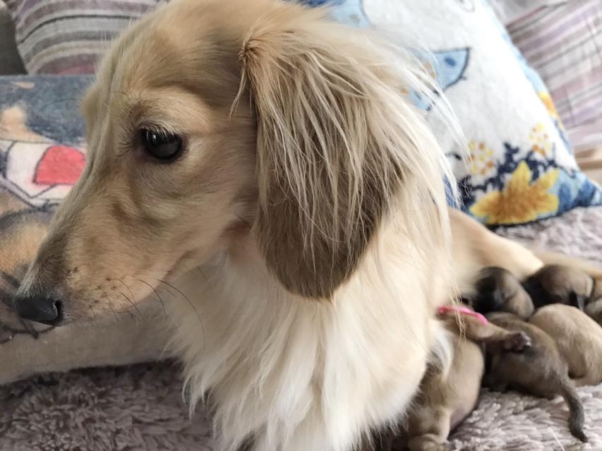 カニンヘン ダックスフンド ハニーkk 9月14日 子犬の出産