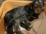 セーラ 6月4日 子犬の出産