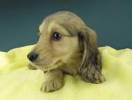 キュア & スカッシュの子犬 イエロー(クリーム) 女の子