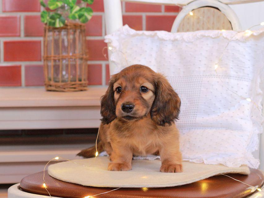 カニンヘン ダックスフンド シオン & ロックスの子犬 シェーデットレッド 女の子