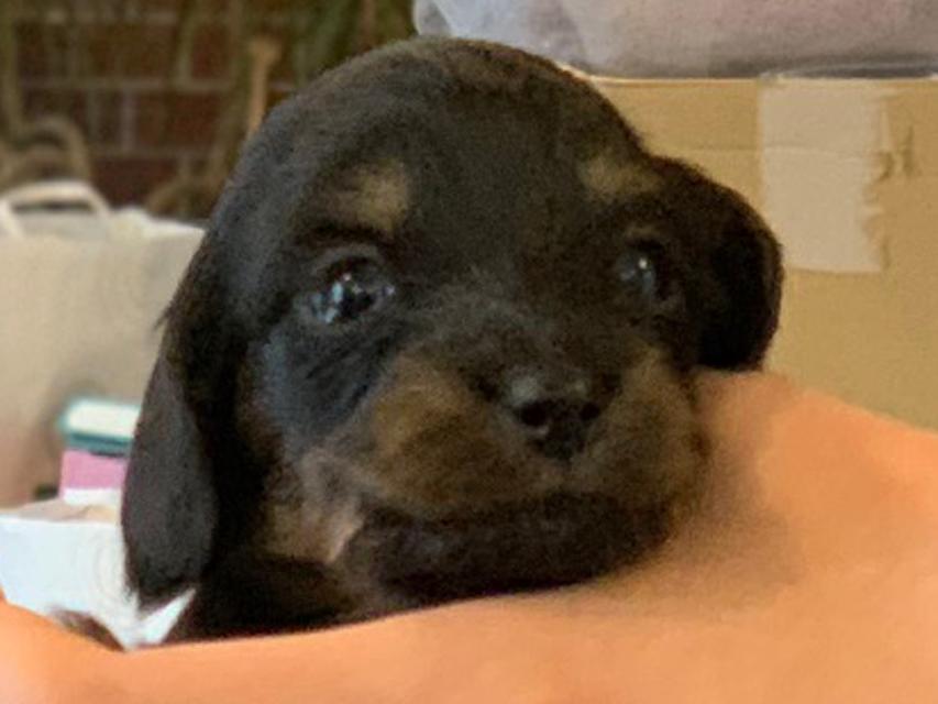 カニンヘン ダックスフンド ピノ & ブルースの子犬 ブラックイエロー(ブラッククリーム) 男の子