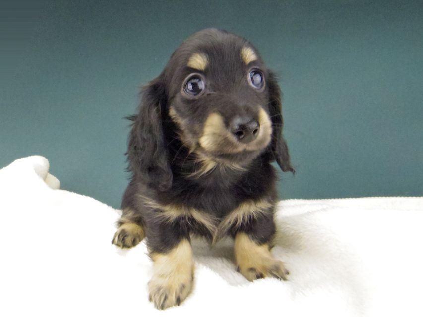 カニンヘン ダックスフンド プラム & ナイトの子犬 ブラックイエロー(ブラッククリーム) 女の子