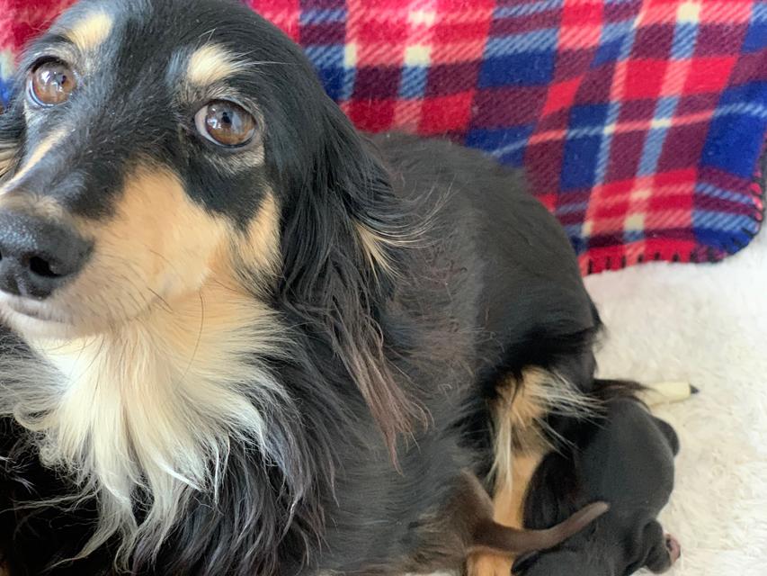 カニンヘンダックスフンド まる 3月3日 子犬の出産