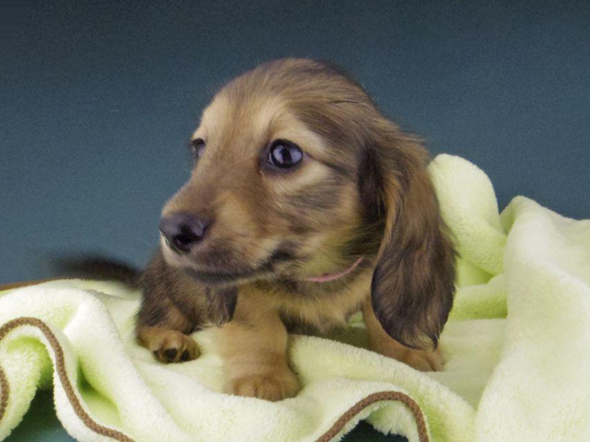カニンヘン ダックスフンド シエラcs & たけるの子犬 イエロー(クリーム) 女の子