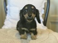 セーラ & 朝日の子犬 ブラックイエロー(ブラッククリーム) 女の子(2)