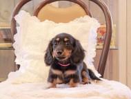 カイラ & ピーターの子犬 ブラックイエロー(ブラッククリーム) 女の子