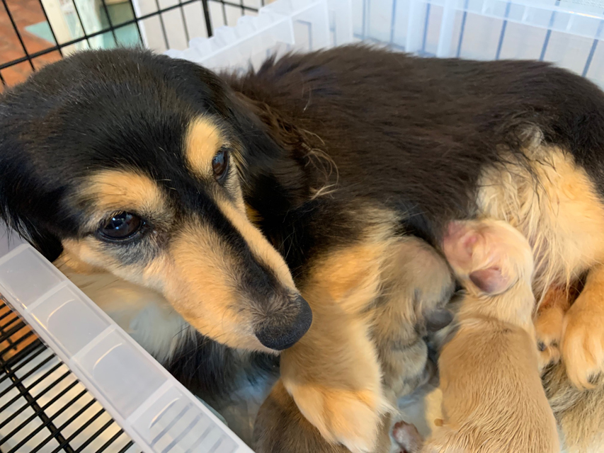 カニンヘン ダックス ソフィア 4月7日 子犬を出産しました