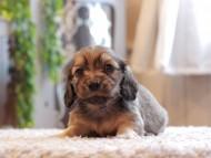 セーラ & ロックスの子犬 イエロー(クリーム) 男の子(1)