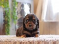 セーラ & ロックスの子犬 ブラックタン 女の子