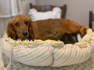 SAKURA 3月8日 子犬の出産